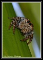 Jumping spider 2 by Purple-Dragonfly-Art