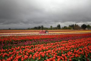Tulips are Red by danporter