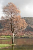 Silver birch, Cumbria by pnewbery