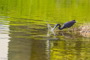 Tricolor (breeding coloration) heron hunting by CyclicalCore