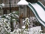 Female Cardinal-  In the Snow by watercolos