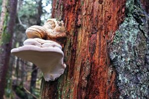 Tree Fungus 2 by rdswords