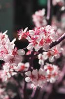 Spring colorful series cherry 2 by GreenSlOw