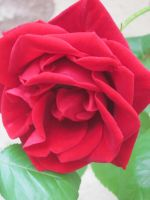 pink-red rose by Geishatron