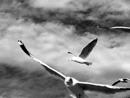 Gulls by tracy-Me