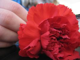 Carnation 2 by Seaphire