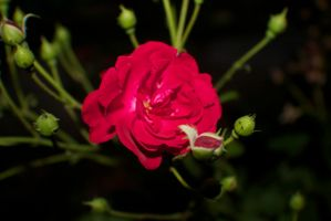 Red Rose surrounded by not yet bloomed roses by Darklordd