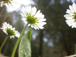 Daisies by Alicss