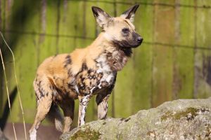 African wild dog by Saromei