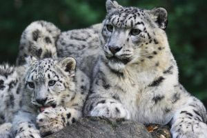 Snow leopard III by Parides