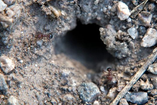 Ants by Chechipe