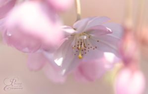 Cherry Blossom by PassionAndTheCamera