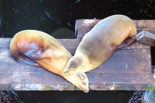Sea Lions under the Pier by tracy-Me