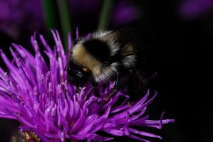 Bee with parasite by Austinii