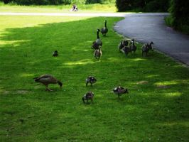 Canada Goose and Egyptian Goose by JollyStock