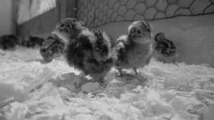 Baby Japanese Quails by ExcellentAdventures