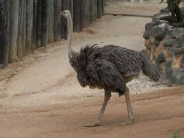 Ostrich by Outsider767