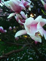 Magnolia Tree Flower Close-Up by thenonhacker