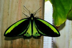 Green Birdwing, Male by TheSleepyRabbit