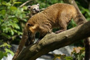 G-ZOO COATI by CHRISwillar