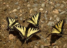Canadian Tiger Swallowtail #3 by JED1948
