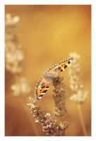 Copper Butterfly by UnrehearsedSplendour
