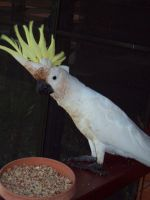 STOCK - Cockatoo 024 by Chaotic-Oasis-Stock