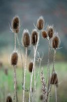 Teasel Time by WalnutHill