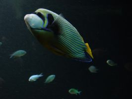 .An Emporer amongst fish. 7149 by DelinquentDog