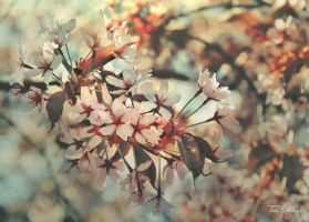 Cherry Blossom by Pajunen
