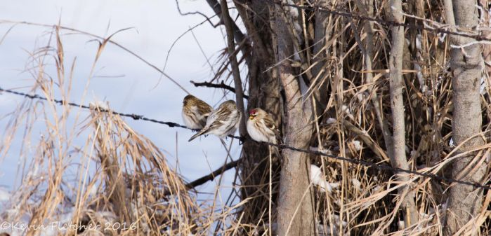 Redpolls by sgt-slaughter