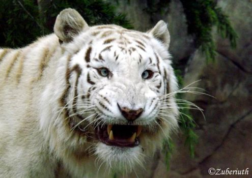 White Tiger Smile by Zuberiuth