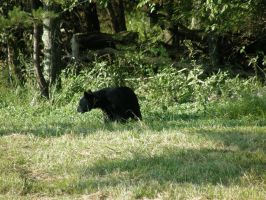 black bear 1 by redtailhawker