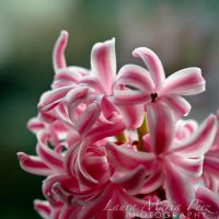 Hyacinth by LMPPhoto