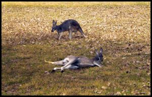 Arizona 2011 - Kangaroos by DarlingMionette