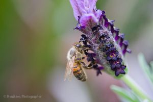 Lavender and the Bee by Monikker