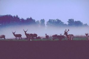 deer before dawn by Aurikia