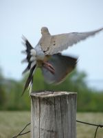 Mourning Dove in Flight by FantasyStock