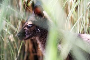 Wallaby by deliquescing