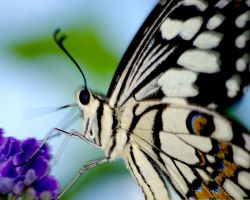 Chequered Swallowtail by ViewFromTheMirror