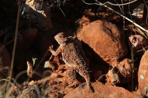 Horn Toad by olearysfunphotos