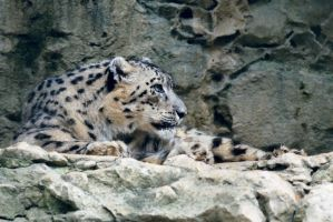Snow Leopard on the Rocks by robbobert