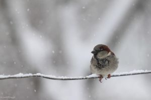Untitled Sparrow on a Fence Wire by HoremWeb