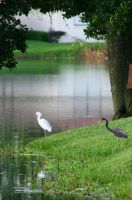 Egrets by the Pond by SanibelRoo