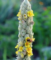 Bee on Common Mullein by lupagreenwolf