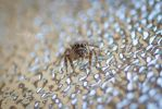Jumping spider face by TanyaRudman