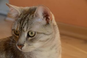 Grey Tabby 1 by Lakela