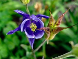 Blue Columbine by Baq-Stock