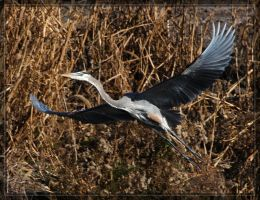 Great Blue Heron 40D0032582 by Cristian-M