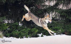 Wolfdogs Can Fly VIII. by Czertice